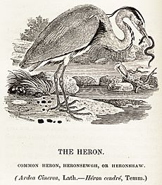 Heron woodcut Bewick's British Birds 1847