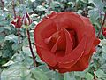 Red Rose at Intl Test Garden