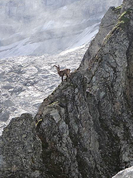 Ibex in the French Vanoise National Park