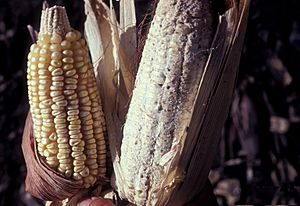 Maize damaged by maize weevil, Sitophilus zeamais 01