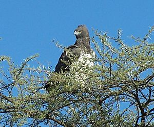 Martial Eagle in Namibia