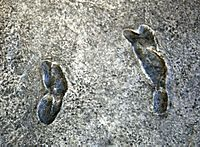 Earliest known human footprints - one set - australopithecus afarensis - Smithsonian Museum of Natural History - 2012-05-17