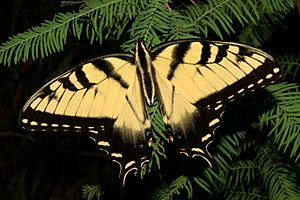 Pristine Eastern Tiger Swallowtail
