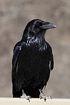 Corvus corax clarionensis perched frontal.jpg