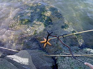 Starfish in the Maribyrnong