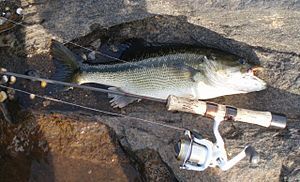 Typical Tallapoosa River Spotted Bass