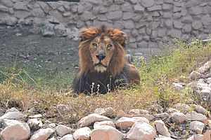 Asiatic Lion in Lucknow Zoo