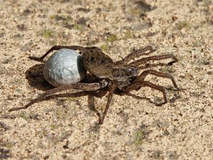 20071030 Wolf Spider Carrying Egg Sac (Cropped)