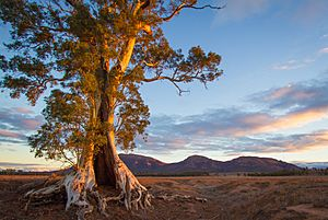 Cazneaux Tree - Flinders Ranges - South Australia (Explored)