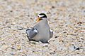 Least Tern on Nest with Two Eggs Visible