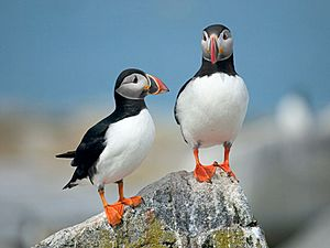 Machias Seal Island puffins