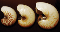 Nautilus species shells