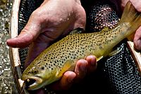 Browntrout029