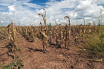 Corn shows the affect of drought