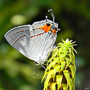Gray Hairstreak (One more time...) (6222138633)