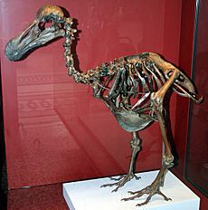 Dodo-Skeleton Natural History Museum London England