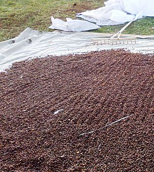 Drying of pine nuts