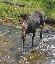 Moose crossing river in yellowstone