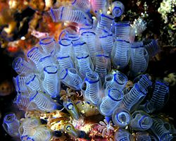 Sea squirt facts