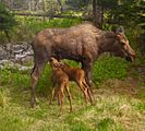 Moose calves nursing