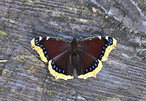 The Mourning Cloak (23369139485).jpg