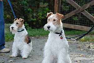 Two Wire Fox Terriers