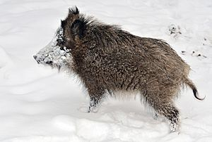 Wild boar Facts for Kids