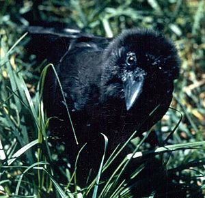 Corvus hawaiiensis in grass