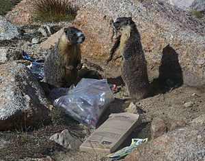 Marmots Eating Trash