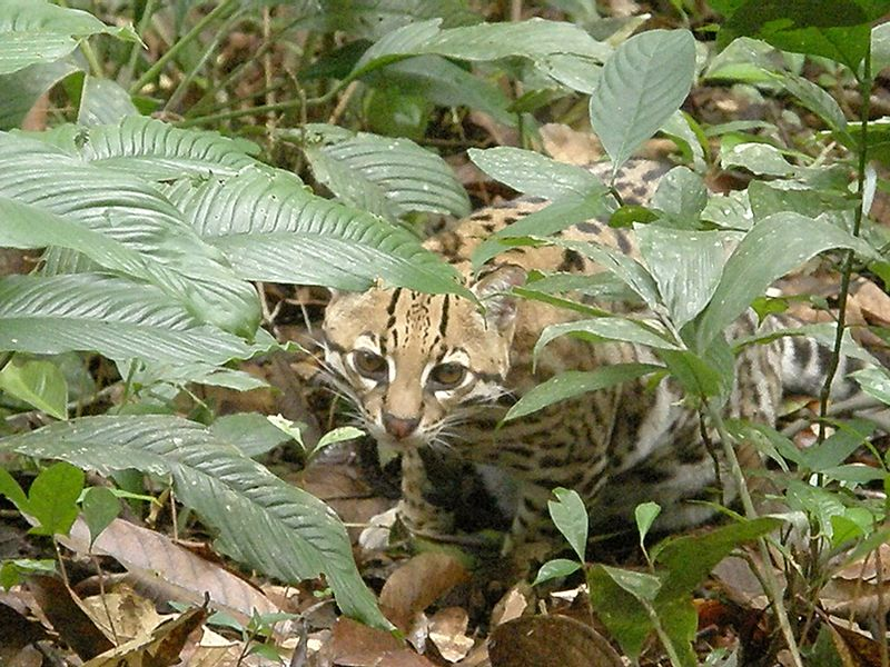 Ocelot in Bulivia