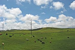 Cattle pastures just outside Waimea