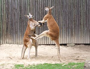 - fighting red kangaroos 2