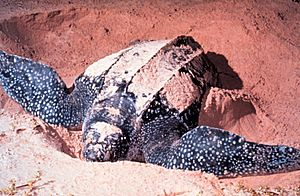 A leatherback sea turtle digging in the sand