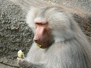 Papio hamadryas eating an apple