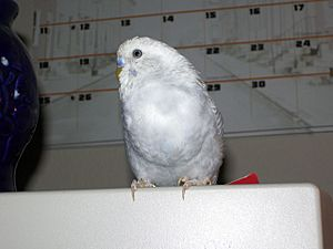 Budgerigar with full crop