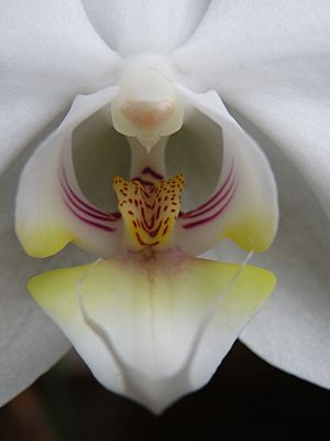 Closeup of the blossom of a Phalaenopsis