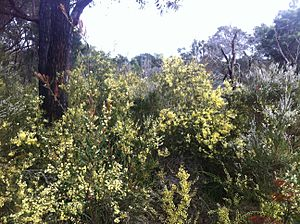 Acacia cochlearis thicket