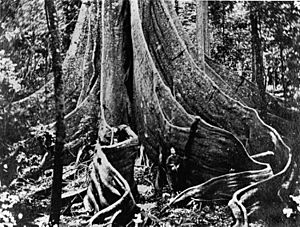 StateLibQld 1 42723 Person standing at the base of a large fig tree, Fig Tree Pocket, Brisbane, 1866