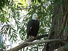 BaldEagle-At-WillParkZoo