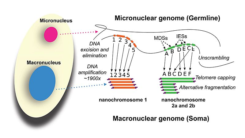 Development of the Oxytricha macronuclear genome
