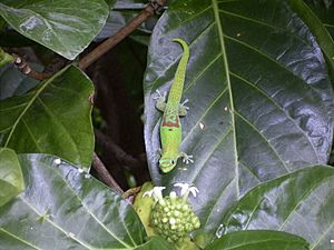 Gold Dust Day Gekko - introduced to Hawaii as pest control (8379171781)
