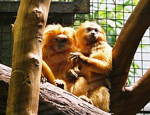 Golden lion tamarins.mh