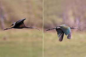 White-faced ibis (Plegadis chihi) immature in flight composite