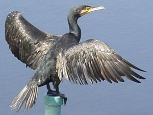 Phalacrocorax carbo ja01