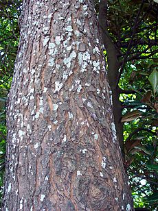Red Bean Dysoxylum mollissimum bark