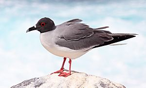Swallow-tailed-gull