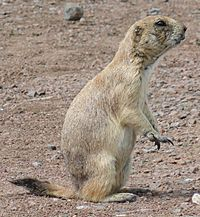 Black-tailed Prairie Dog-Wichita Mountain Wildlife Refuge-1