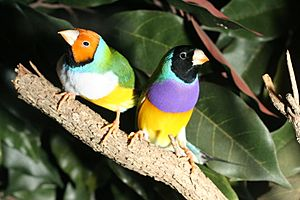 GouldianFinches