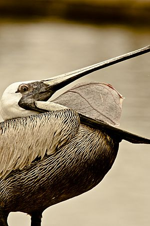 Brown Pelican open mouth