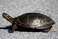Midland painted turtle standing on tarmac, with neck extended